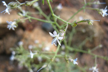 Aliciella pinnatifida