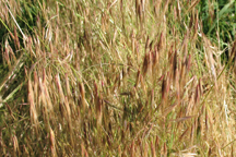 unknown grass