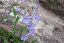 Penstemon augustifolius