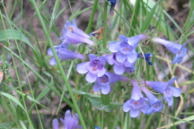 Penstemon virgatus asa-grayi