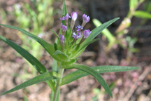 Collomia linearis