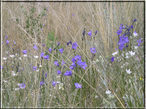 Bellflowers in grass