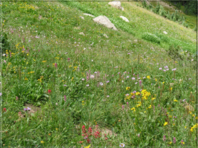 alpine meadow wildflowers