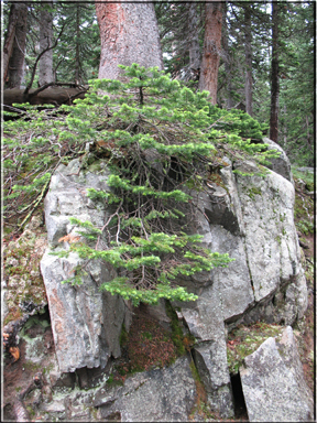 conifer growing on rock