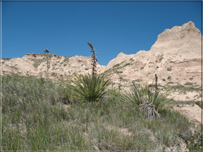 yucca in front of Pawnee cliffs